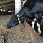 Корова с датчиком охоты