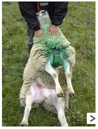 Закрепленный индикатор raidex для выявления охоты у овец