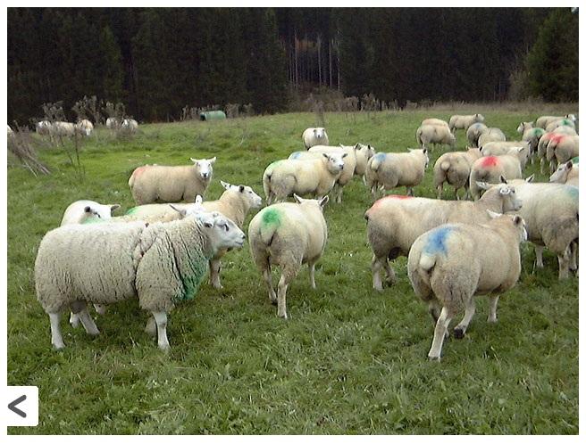 Маркированный овцы в период охоты